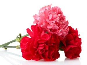 Carnations ~ A Mother's Pure Love
